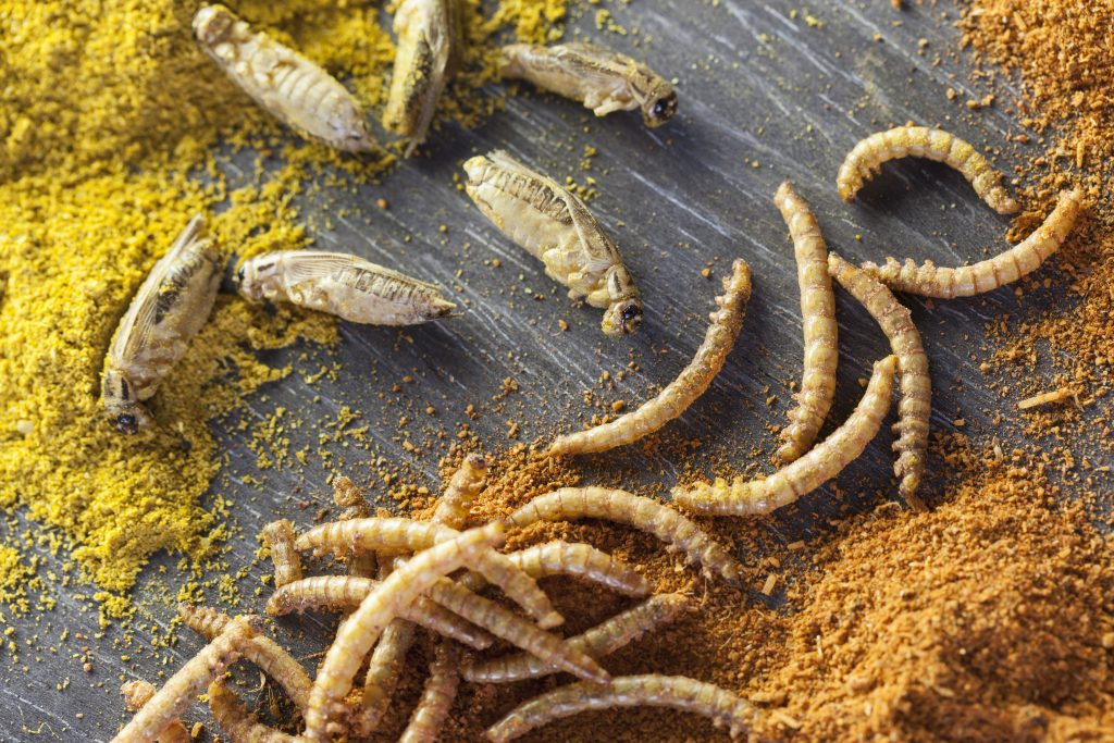 edible roasted and spiced mealworms and crickets